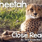 Cheetah Close Read