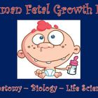 Reproductive System - Human Fetal Growth Lab