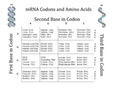 Chart of Amino Acids:  Names and Abbreviations and Codons