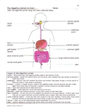Digestion: Digestive System Facts, Color, Worksheet, & Quiz  Sf-1