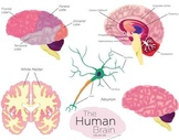 Human Brain Clip Art Set