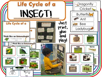 Insect Lifecycles Freebie!