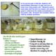 Biology Lab: Plasmolysis (Osmosis) in Elodea and Potato Cells